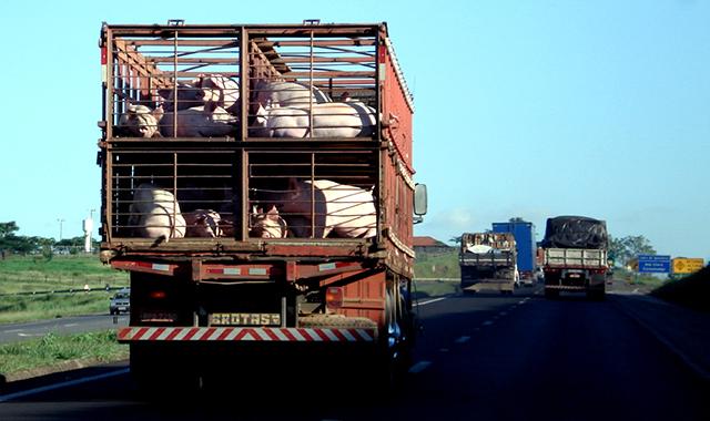 Caminhão dirige carga de suínos para frigorífico (Foto: Marcelo Braga / Flickr / CC)