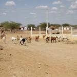 Calor faz garota improvisar manejo de cabras