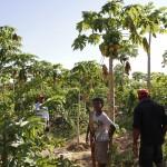 Consorciamento de mamão e goiaba maximiza sistema de irrigação