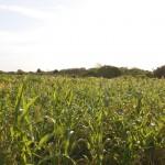 Milho no Safra: vigor contrasta com perda total em outras regiões