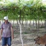 """Animais saudáveis """"consorciados"""" com fruticultura"""