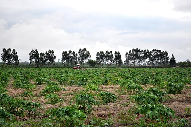 Lavoura de café, em assentamento da reforma agrária acompanha plantação de seringueiras ao fundo (Fotos: Guilherme Zocchio)
