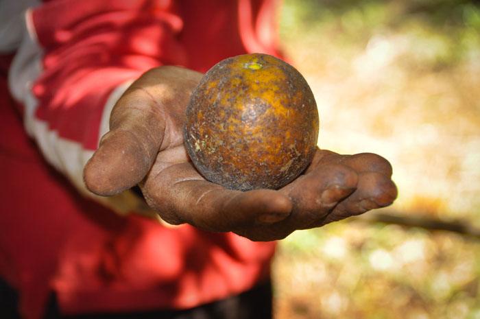 Pandemia cria cenário de incerteza para trabalhadores da laranja