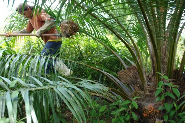 Mais de duas mil familias devem plantar dendê para industrias até o fim de 2013    Fotos: Verena Glass