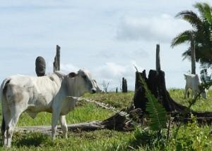 Limites da Amazônia se destacam por produção de gado associada a desmatamento ilegal (Foto: Verena Glass)