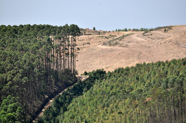 Ao fundo, vista de eucaliptos removidos de propriedade da JHSF onde se pretende instalar o aeroporto