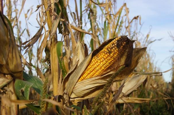 Espanha, é o país europeu com a maior área cultivada com transgênicos. O país só liberou uma variedade de transgênico, o milho da Monsanto (Foto: Bernhard Renner/Pixabay)