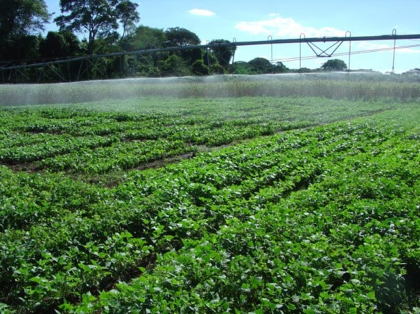 Cultivo de feijão transgênico Embrapa 5.1, resistente ao vírus do mosaico dourado (Foto: Francisco Aragão/Embrapa)