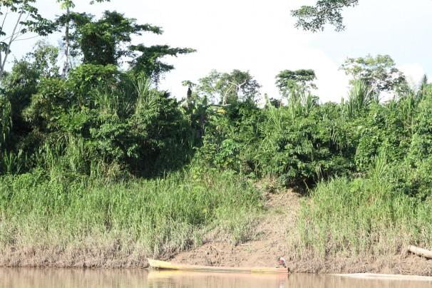 Roça de banana de familia do Projeto Purus: impacto do plantio sobre o ambiente tradicionalmente é mínimo