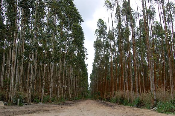 Monocultivo de eucalipto voltado para a produção e exportação de celulose (Foto: Guilherme Zocchio)