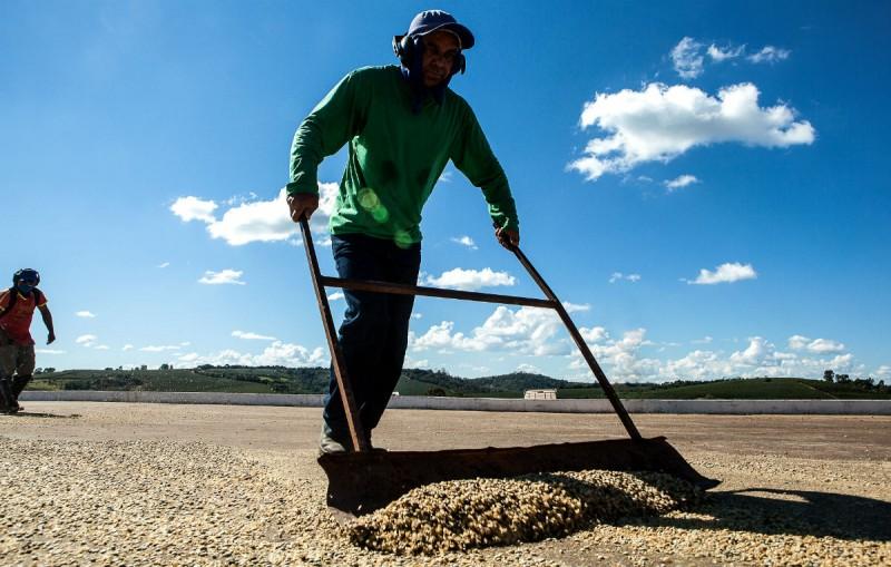 Trabalhador junta sementes secas de café. Foto: Lilo Clareto