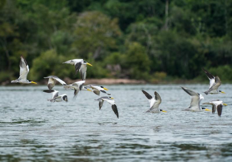 Pássaros voam sobre o rio Tapajós. Foto: Valdemir Cunha/Greenpeace.