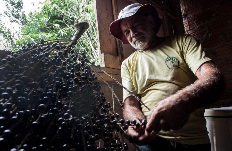 Com 64 anos, Seu Silva escala em poucos segundos o açaizeiro para colher a rama de açaí que, no Pará, é servida com a comida. Foto: Lilo Clareto/Repórter Brasil