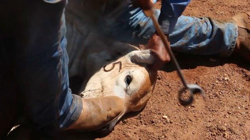 Gado é identificado com ferro quente em seu rosto. Foto: Piero Locatleli/Repórter Brasil