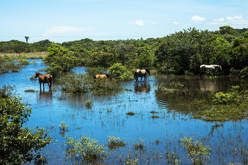 Diferente do boi, os cavalos se aventuram nos pastos alagadiços de Presidente Kennedy. Foto: Gustavo Lousada/Repórter Brasil